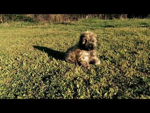 A Little Early Morning Bouvier Des Flandres Puppy