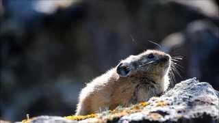 ナキウサギ2015 Japanese Pikas Calling Out : Cute animals in Nature