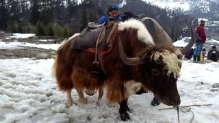 Watch the video of ManaManali Yakli Yak Himachal Pradesh India.