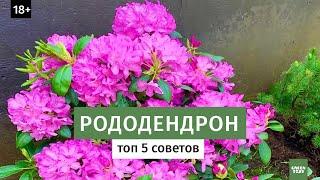 как вырастить рододендрон в саду? Лучшие сорта рододендронов // Цветущие кустарники 16