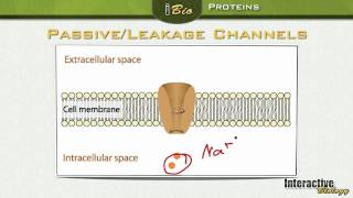 004 Ion Channels: Proteins in the Membrane of Neurons