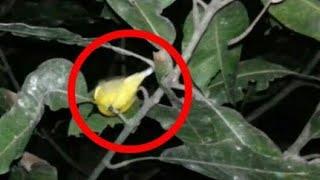 Download Video Ngobor Burung Malam Hari MP3 3GP MP4