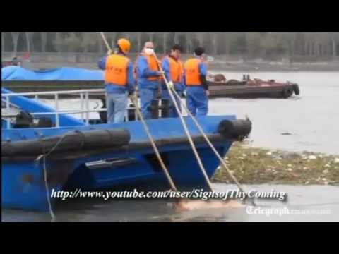 China : Over 3300 Dead Swine found floating in the Shanghai River UPDATE REPORT (MAR 11, 2013)