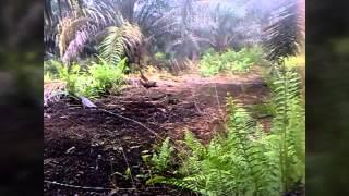 Ayam Hutan Pikat Betina 60