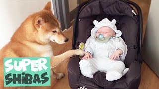Shiba Inu Compilation 2018 | Why Shiba Inus Make the Best Pets