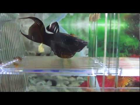black-molly-fish-giving-birth