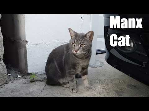 Manx Cat Video and Sound Effect (4k)