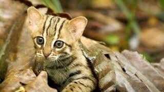 世界最小のネコ 視力は人間の6倍 サビイロネコ 検索動画 5