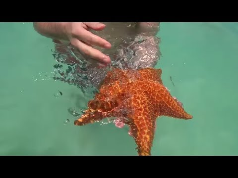 Морские звезды в Доминикане - красота неописуемая
