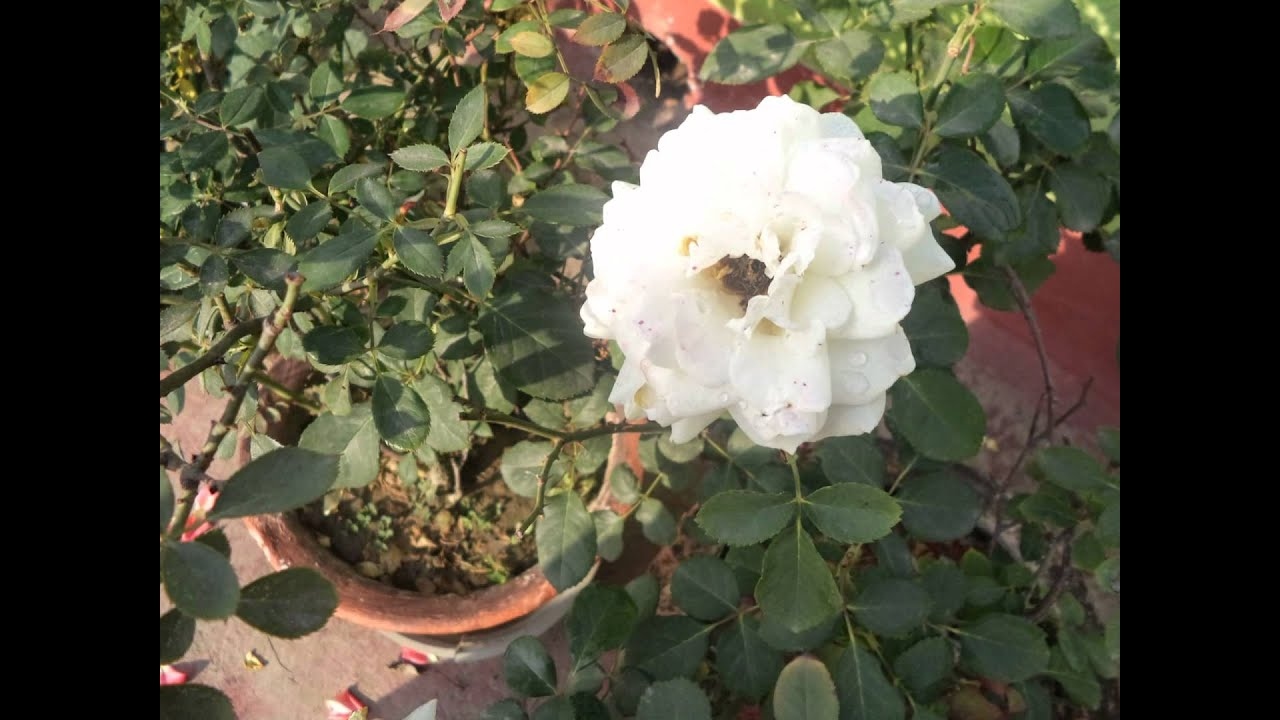 White Pink Red Rose Flowers Plant In Small Garden West Bengal