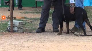 Superb Rottweiler Dogs In India 2013