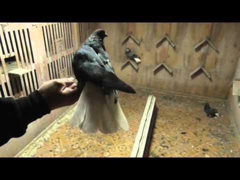 пары голубей на 2016г