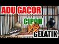 Adu Gacor Sirtu Cipoh Vs Gelatik Batu Wingko  Mp3 - Mp4 Download
