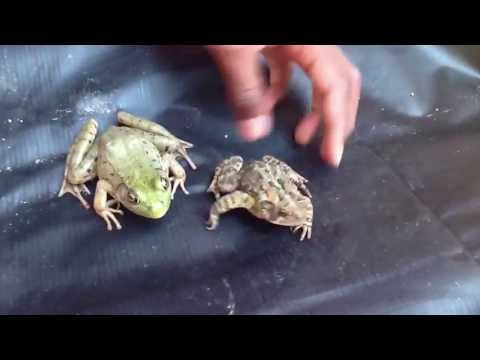 Difference between frog and toad