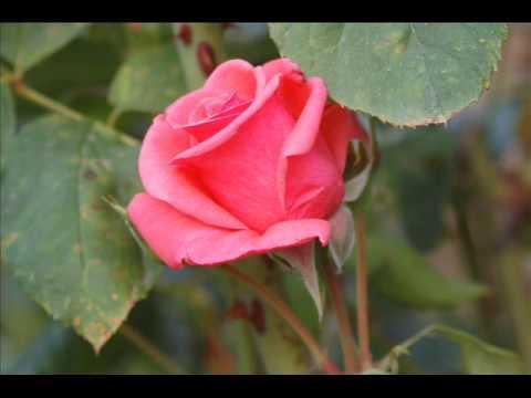 Franz Schubert  ~  Serenade  ~