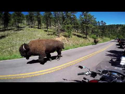 """Custer National Park"" wild Buffalo"