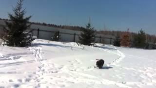 Щенок Чесапик Бэй ретривера обучается подаче утки