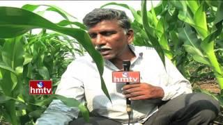 Sweet Corn (Mokka Jonna) Cultivation By Venkateshwar Rao | Nela Talli Weekend | HMTV