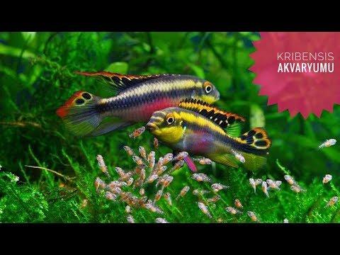 kribensis balığım ve yavruları