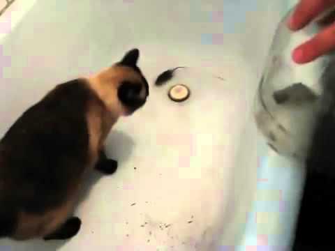 Как пугать кота видео