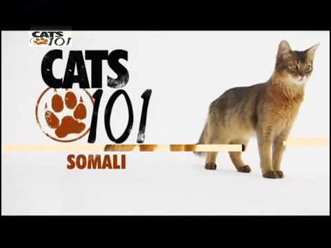 The Somali cat 🐱