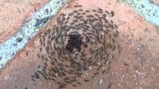 Ants mosh pit