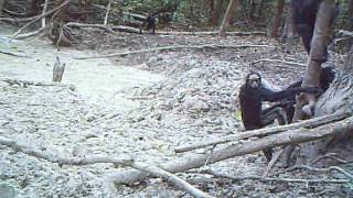 We captured these White-cheeked spider monkeys (Ateles marginatus) ...