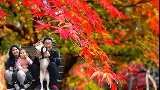 พาเที่ยวดูใบไม้เปลี่ยนสี  fall leaves(kouyou)
