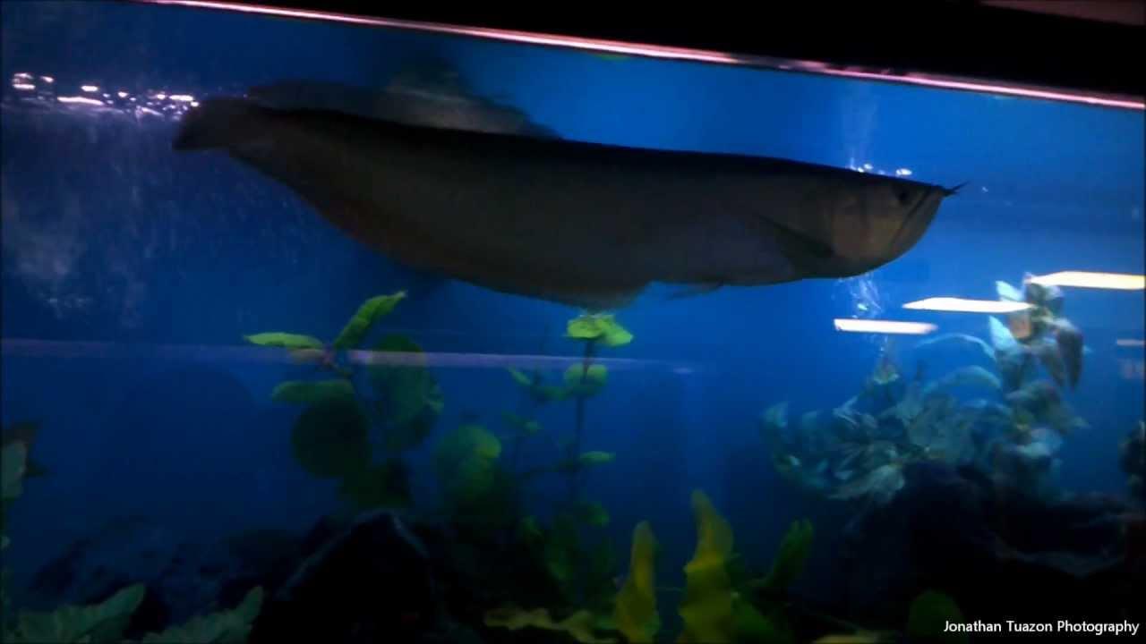 huge arowana in a 150 gallon fish tank aquarium youtube. Black Bedroom Furniture Sets. Home Design Ideas