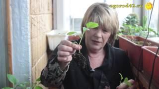 Миф о рассаде в пеленке (про баклажаны)