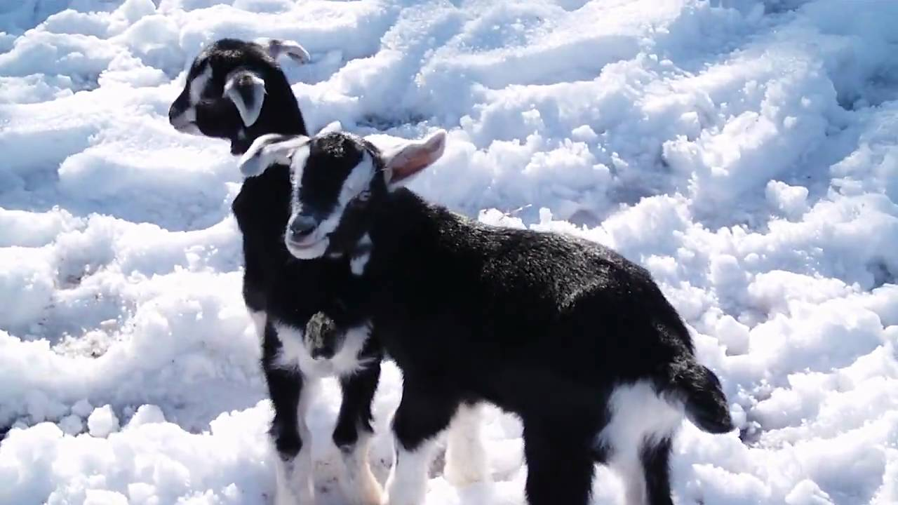 how to play with your goat