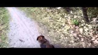 Chewie Le Border Terrier Chasse Le Lapin
