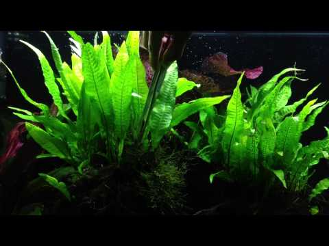 Growing Dense Java Fern