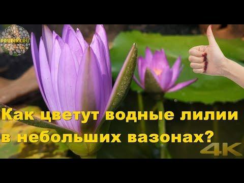 Как водные лилии (кувшинки) цветут в небольших вазонах? Кувшинка голубая, сиреневая, лотос, водокрас