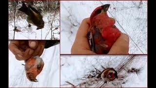 Ловля певчих птиц. Птицы Урала. Щеглы, щуры, клесты.