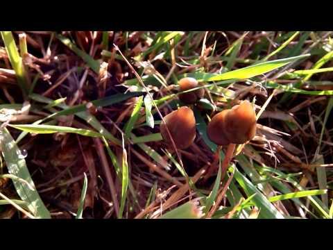 Psilocybe Semilanceata Hunt 2013 video4
