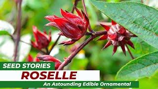 SEED STORIES | Roselle: An Astounding Edible Ornamental