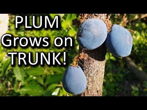Weird Plum Fruits On The Trunk Of Tree | Davidson Plum Rainforest Bush Tucker Plant Review