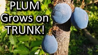 Weird Plum Fruits on the Trunk of Tree | Davidson Plum Rainforest Bush Tucker Plant Review