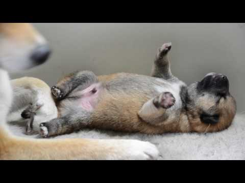 """Shiba inu puppy - 10 days old  - litter/miot """"D""""  2017"""