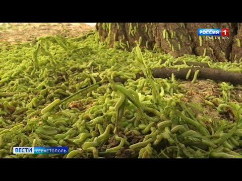 В Севастополе нашествие зеленых гусениц из Европы