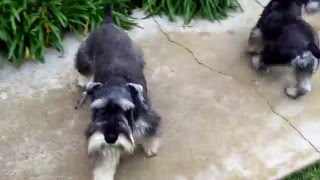 Los Angeles Dog Training: Helping Antisocial & Reactive Schnauzers