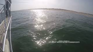White Shark Breaches under Research Vessel Pulpit