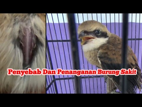 Penyebab Dan Cara Penanganan Burung Sakit Youtube