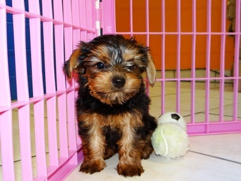 Yorkshire Terrier Yorkie Puppies Dogs For Sale In Memphis