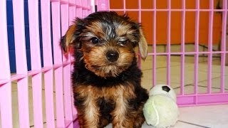 Yorkshire Terrier, Puppies For Sale, In, Memphis, Tennessee, Tn, 19breeders, Clarksville, Chattanoog