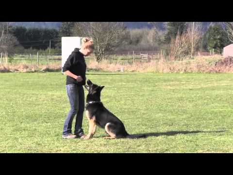 Elite Trained IPO Protection German Shepherd Obedience