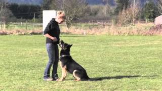 Elite Trained Ipo Protection German Shepherd Obedience For Sale