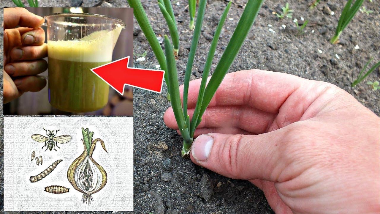 Луковая муха погибает сразу если обработать лук этим! Чем обработать лук от луковой мухи?