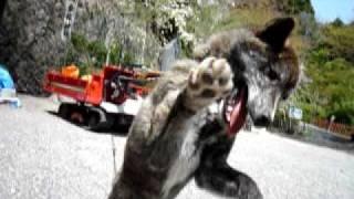 山梨県の金桜神社で見かけた甲斐犬です。1歳とちょっと位でしょうか?...